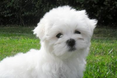 143472-chien-bichon-maltais-jpg