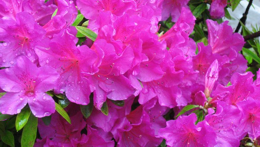Pourquoi choisir des arbustes à feuillage persistant pour son jardin ?